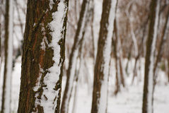 Tree Trunks in Snow Royalty Free Stock Image