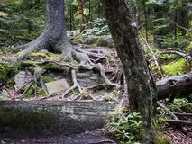Tree Trunks Spreading Over a Catskill Mountain Trail. Wide spreading tree roots over a trail in the Eastern Catskill Mountains of New York State stock image