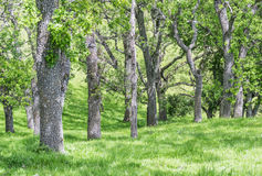 Tree Trunks in Spring. A row of Walnut tree trunks, in spring grass Stock Photography
