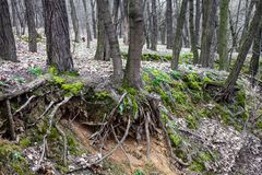 Tree trunks and tree roots in a leafless forest Royalty Free Stock Photo