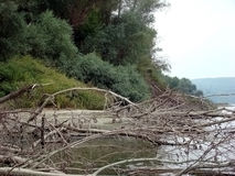 Tree trunks and twigs of dried. Every year tens fall , hundreds of trees on the banks or in the waters of the Danube River stock photo