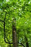 Tree trunks in a very dense forest at summer, Kosutnjak, Belgrade Stock Photos