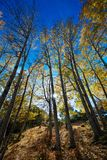Tree trunks. Vibrant colors of autumn have paint this picturesque forest scenery royalty free stock photo