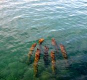 Tree trunks in a water Royalty Free Stock Images