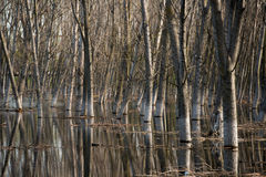 Tree trunks in water Royalty Free Stock Photos