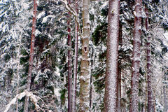 Tree trunks in wild forest in winter Stock Photography
