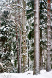 Tree trunks in wild forest in winter Royalty Free Stock Image
