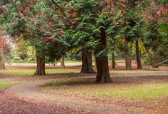 Tree trunks with winding path covered in autumn leaves Stock Images