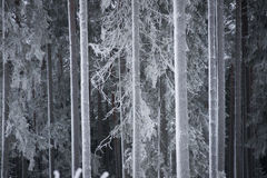 Tree trunks in winter Stock Images
