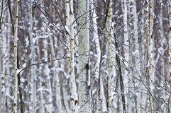 Tree trunks in winter Royalty Free Stock Photo