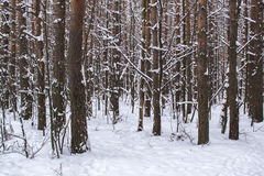 Tree trunks in winter forest Stock Images