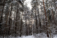 Tree trunks in winter forest. Royalty Free Stock Images