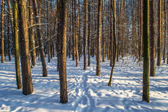 Tree trunks in winter forest Stock Image