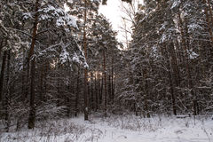 Tree trunks in winter forest Royalty Free Stock Images