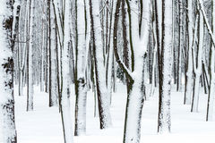 Tree trunks in winter forest covered with snow Stock Photography