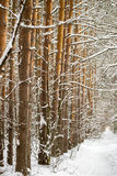 Tree trunks in winter forest disappearing into the distance footpath Royalty Free Stock Image