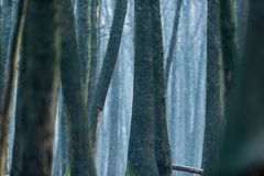 Tree trunks of winter forest in snowfall. Tree trunks of a winter forest in snowfall Stock Photo