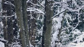 Tree Trunks In Winter With Snow Falling. Closeup of tree trunks in the woods in snowfall stock video