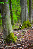 TREE TRUNKS IN A WOOD. Tree trunks in the reservate forest complex near the village of Godkowo in Norther Poland Royalty Free Stock Photography