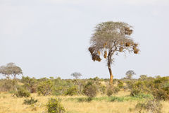 Tree in Tsavo East in Kenya Stock Photo