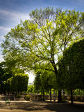 The tree of the Tuileries garden Royalty Free Stock Photography