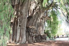 Tree of Tule, largest tree in the world, Oaxaca, Mexico stock images