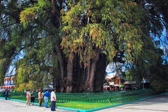 The Tree of Tule Royalty Free Stock Photo