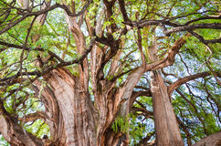 The Tree of Tule, Santa Maria del Tule, Oaxaca, Mexico. 19th May 2015 Royalty Free Stock Photo