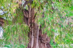 The Tree of Tule, Santa Maria del Tule, Oaxaca, Mexico. 19th May 2015 Stock Photos
