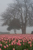 Tree and tulips. Large tree among tulip field during foggy morning Stock Image