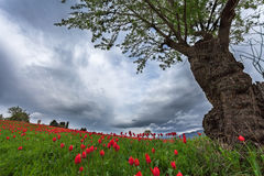 Tree and tulips Royalty Free Stock Images