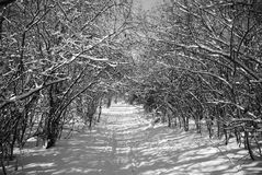 Tree tunnel. B/w snowy tree tunnel Royalty Free Stock Images