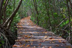 Tree tunnel in Mang at Laem Phak Bia Petrove forest nature trail stock photos