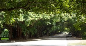 Tree tunnel on Old Cutler Road in Coral Gables. A tree tunnel along the Old Cutler Road in Coral Gables in Florida, USA, with old Banyan trees stock image