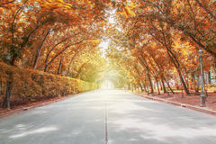 Tree tunnel with sunlight,autumn lanscape Stock Photography