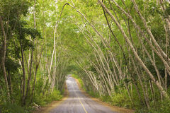 Tree tunnel. The tunnel of trees by the country road in the afternoon Stock Photography