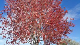 Tree turning red at fall. Royalty Free Stock Images