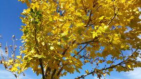 Tree turning yellow at fall. With a blue sky background Royalty Free Stock Photo