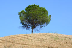 Tree on Tuscan hillside stock photo