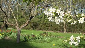 Tree twig blooms and flowers in spring season garden. 4K stock footage