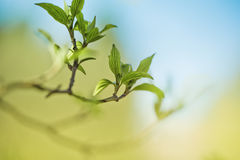 Tree Twig with Leaf buds in Spring Royalty Free Stock Image