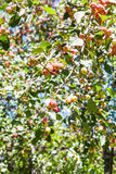 Tree twig with pink malus apples in forest Stock Photography