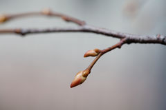 Tree twig with reddish buds, spring time in park. Soft tender branch background, beautiful bokeh backdrop. Selective Royalty Free Stock Photography