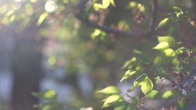 Tree twigs with sunflares. Fresh crisp green tree stock video footage