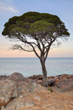 Tree at Twilight Royalty Free Stock Photography