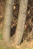 Tree twins Stock Photo