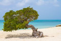 Tree twisted in Eagle Beach, Aruba. stock photos