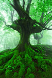 Tree with twisted roots in foggy forest Stock Images