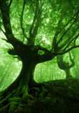 Tree with twisted roots in foggy forest Stock Photo