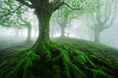 Tree with twisted roots. In foggy forest Royalty Free Stock Photo